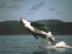 Orca Whale behavior, is so inspiring